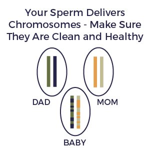 Your Sperm Delivers Chromosomes